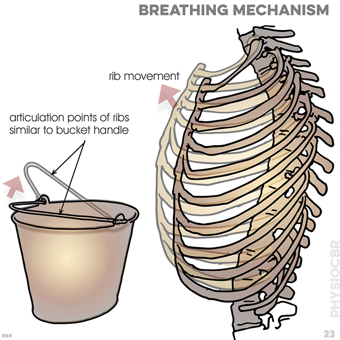 23. Breathing mechanism: ribs articulate to vertebrae; articulation points of ribs are similar to a bucket handle