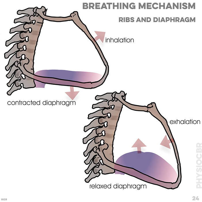 24. breathing mechanism: inhalation, contracted diaphragm; exhalation, relaxed diaphragm; water pumps acts (contracts) like a diaphragm