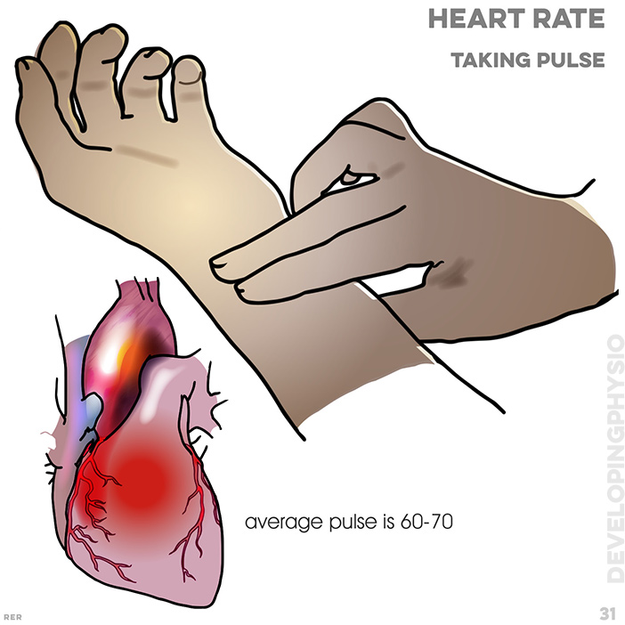 31. Heart rate: taking pulse from wrist, average is 60-70