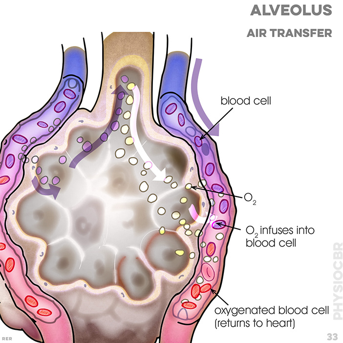 33. Alveoli: capillary wall; red blood cell (from heart); direction of blood flow; oxygentated blood cell (returns to heart)