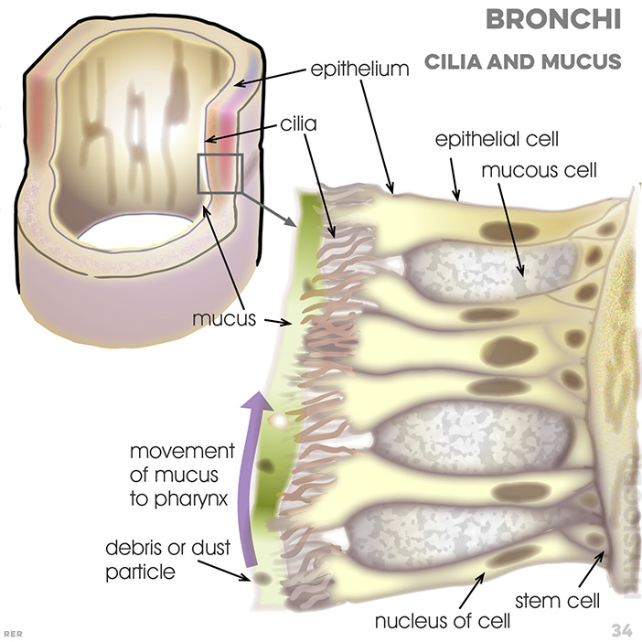 34. Respiration, epithelium: cilia; mucus; epithelial cell; mucous cell; movement of mucus to pharynx; debris or dust particle; nucleus of cell; stem cell