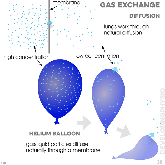 38. Gas exchange. diffusion: lungs work through natural diffusion; membrane; high concentration; low concentration; helium balloon: gas/liquid particles diffuse naturally through a membrane
