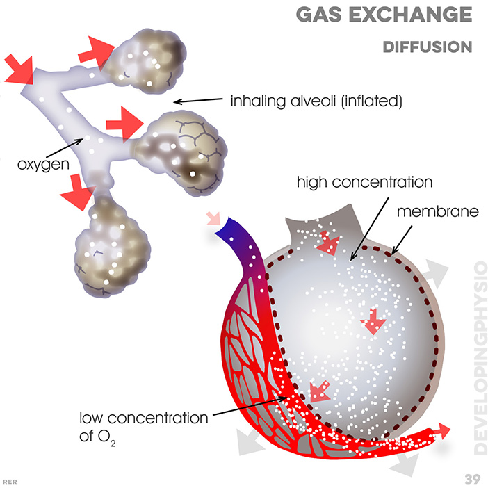 39. Gas exchange. inhaling alveoli (inflated); oxygen; high concentration; membrane; low concentration of O2