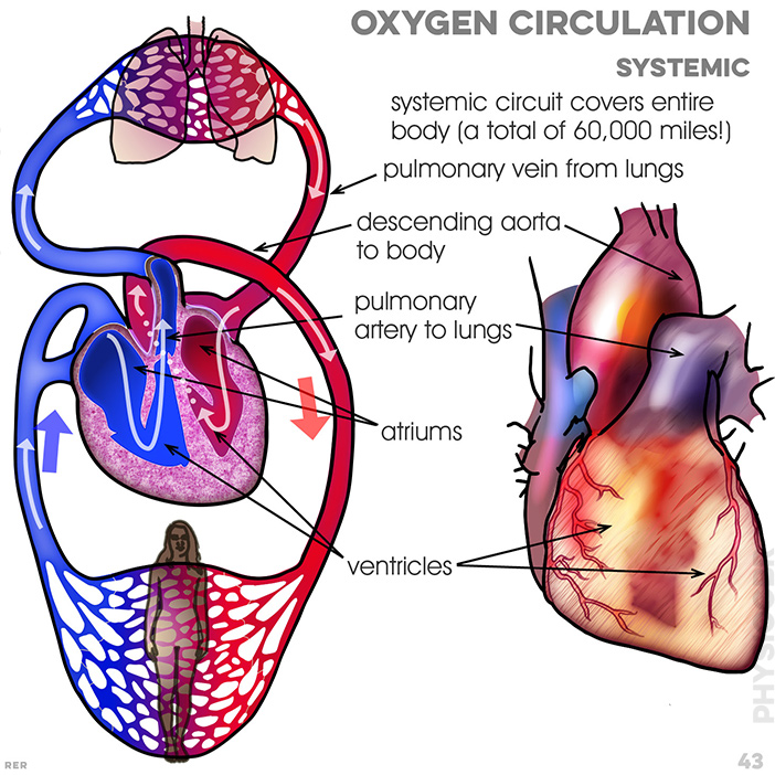 43. Circulation: Systemic circuit covers the entire body