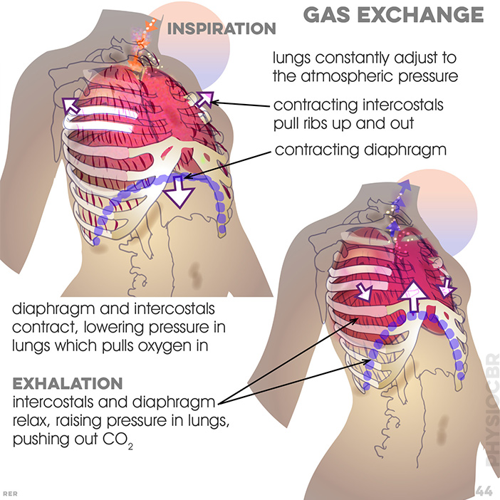 44. Gas exchange. lungs constanty adjust to atmosphere; 1: diaphragm and intercostals contract, lowering pressure pulling in oxygen and then 2: relax, raising pressure, pushing out the CO2