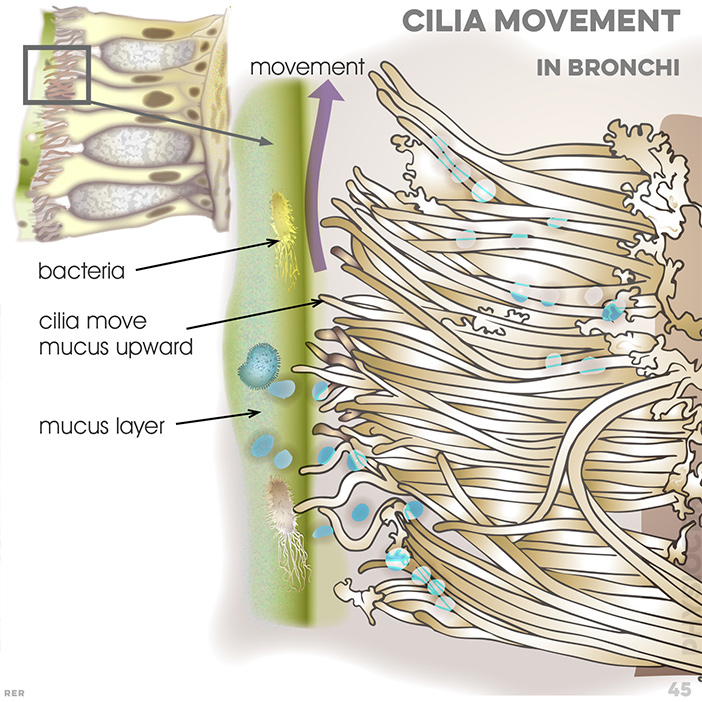 45. Bronchi and cilia movement: bacteria; cilia move mucus upwards; mucus layer kept watery and thin