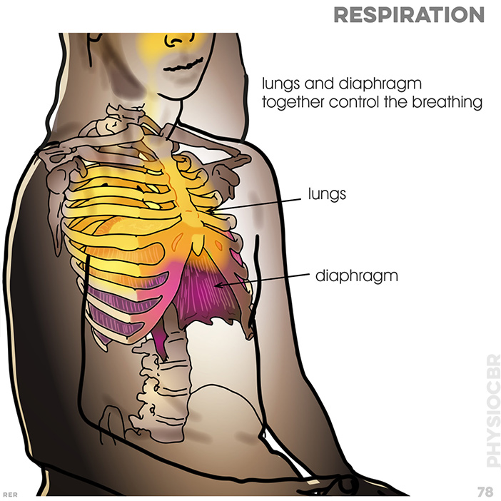 78. lungs and diaphragm together control the breathing